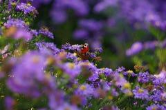 Πεταλούδα στο πορφυρό λουλούδι Στοκ εικόνα με δικαίωμα ελεύθερης χρήσης