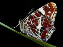 πεταλούδα συμπαθητική Στοκ εικόνα με δικαίωμα ελεύθερης χρήσης
