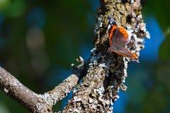 Πεταλούδα της Vanessa Atalanta Στοκ φωτογραφίες με δικαίωμα ελεύθερης χρήσης