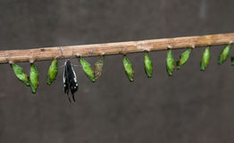 πεταλούδα τοκετού Στοκ φωτογραφία με δικαίωμα ελεύθερης χρήσης
