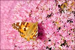 Πεταλούδα του Άμστερνταμ στο ρόδινο λουλούδι στοκ εικόνα