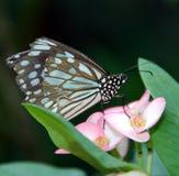 πεταλούδα τροπική Στοκ Εικόνες