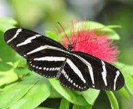 πεταλούδα τροπική Στοκ Φωτογραφίες