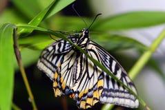 πεταλούδα τροπική Στοκ εικόνες με δικαίωμα ελεύθερης χρήσης