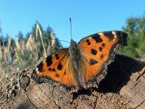 Πεταλούδα Φτερά πεταλούδων Μεγάλη ταρταρούγα πεταλούδων Στοκ εικόνα με δικαίωμα ελεύθερης χρήσης