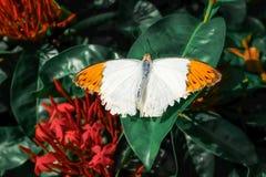 Πεταλούδα Όμορφη τροπική πεταλούδα στο θολωμένο υπόβαθρο φύσης Ζωηρόχρωμες πεταλούδες στον κήπο της Ταϊλάνδης Τροπική πεταλούδα Στοκ Φωτογραφία