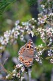 Πεταλούδα Argus λιβαδιών στα άσπρα λουλούδια Στοκ εικόνα με δικαίωμα ελεύθερης χρήσης