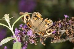Πεταλούδα Buckeye στα πορφυρά λουλούδια του θάμνου πεταλούδων Connect Στοκ εικόνα με δικαίωμα ελεύθερης χρήσης