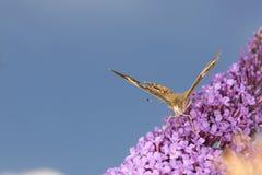Πεταλούδα Buckeye στα πορφυρά λουλούδια του θάμνου πεταλούδων Connect Στοκ εικόνες με δικαίωμα ελεύθερης χρήσης
