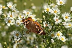 Πεταλούδα Buckeye Στοκ Φωτογραφία