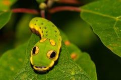 Πεταλούδα Caterpillar Swallowtail Spicebush στοκ εικόνες