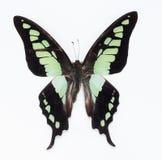 Πεταλούδα (cloanthus Graphium) Στοκ εικόνες με δικαίωμα ελεύθερης χρήσης