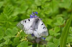 Πεταλούδα Crataegi Aporia στο φυσικό βιότοπο την άνοιξη Στοκ Φωτογραφίες