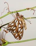 Πεταλούδα Fritillary Κόλπων μετά από το eclosion, που κρεμά δίπλα στη χρυσαλίδα  στοκ εικόνα με δικαίωμα ελεύθερης χρήσης