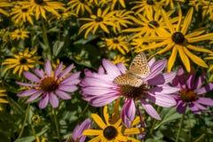 Πεταλούδα Fritillary Aphrodite στον κήπο λουλουδιών Στοκ φωτογραφίες με δικαίωμα ελεύθερης χρήσης