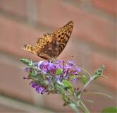 Πεταλούδα Fritillary Aphrodite Στοκ φωτογραφία με δικαίωμα ελεύθερης χρήσης