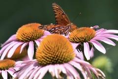 Πεταλούδα Frittilary Κόλπων σε έναν όμορφο κήπο στοκ εικόνα