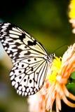 πεταλούδα harlequin Στοκ φωτογραφία με δικαίωμα ελεύθερης χρήσης