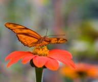 πεταλούδα Julia Στοκ Φωτογραφίες