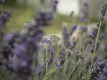 Πεταλούδα lavender στοκ εικόνες