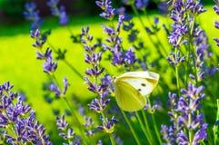 Πεταλούδα lavender στοκ φωτογραφία