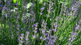 Πεταλούδα lavender απόθεμα βίντεο