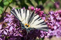 Πεταλούδα mahaon σε ένα λουλούδι Καλό papilio machaon στα ιώδη λουλούδια στοκ φωτογραφία