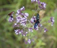 Πεταλούδα oregano στοκ φωτογραφίες με δικαίωμα ελεύθερης χρήσης