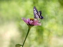 πεταλούδα Papilio machaon σε ένα κόκκινο λουλούδι μια θερινή ημέρα στον κήπο στοκ φωτογραφία με δικαίωμα ελεύθερης χρήσης