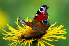 πεταλούδα peacock Στοκ εικόνα με δικαίωμα ελεύθερης χρήσης