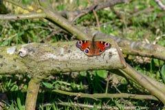 Πεταλούδα Peacock & x28 Inachis io& x29  στήριξη στο ξύλινο κούτσουρο με έξω το ST στοκ φωτογραφία με δικαίωμα ελεύθερης χρήσης