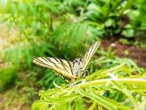 Πεταλούδα podalirius Iphiclides που στηρίζεται σε ένα φύλλο Στοκ εικόνες με δικαίωμα ελεύθερης χρήσης