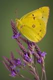 πεταλούδα sulfer Στοκ φωτογραφία με δικαίωμα ελεύθερης χρήσης