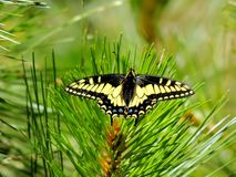 Πεταλούδα Swallowtail γλυκάνισου, εθνικό δρυμός shasta-τριάδας, βόρεια Καλιφόρνια στοκ φωτογραφίες