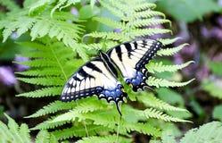 Πεταλούδα Swallowtail τιγρών, Γεωργία στοκ εικόνες