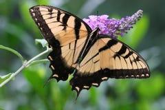 πεταλούδα swallowtail Στοκ Εικόνες