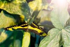 Πεταλούδα Swallowtail PGiant στο σπίτι πεταλούδων στη Βιέννη Στοκ Φωτογραφίες