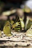 πεταλούδα swordtail στοκ εικόνα με δικαίωμα ελεύθερης χρήσης