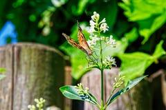 Πεταλούδα Vanessa Cardui ή γνωστός ως χρωματισμένη κυρία στο άσπρο λουλούδι στοκ εικόνες με δικαίωμα ελεύθερης χρήσης