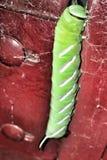 Πεταλούδα Vendée Sphinx Carterpillar στοκ εικόνα