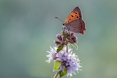 Πεταλούδα virgaureae Lycaena σε ένα δασικό λουλούδι στα ξημερώματα στοκ εικόνες