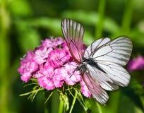 πεταλούδες δύο Στοκ Εικόνα