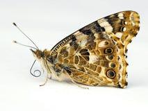 πεταλούδες που απομονώ& στοκ εικόνες