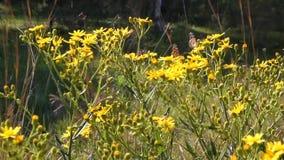 Πεταλούδες στα κίτρινα λουλούδια απόθεμα βίντεο