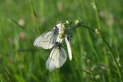 Πεταλούδες στο λουλούδι - macrophotography Στοκ Εικόνες