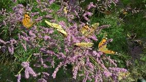 Πεταλούδες τον Ιούνιο Στοκ φωτογραφία με δικαίωμα ελεύθερης χρήσης