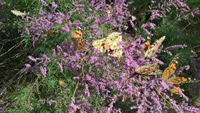 Πεταλούδες τον Ιούνιο Στοκ Εικόνα