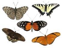 πεταλούδες τροπικές Στοκ Εικόνες