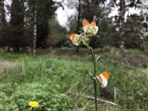 Πεταλούδες cardamines Anthocharis κοινό yarrow Στοκ εικόνες με δικαίωμα ελεύθερης χρήσης