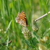 πεταλούδων ασήμι που πλένεται fritillary Στοκ εικόνα με δικαίωμα ελεύθερης χρήσης